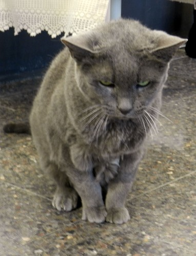 Graystone is an 8 to 10-year old-female cat at the Frederick County Esther Boyd Animal Shelter in Winchester.  Kaley Toy/Daily